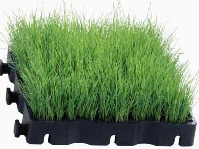 firmusgrass2.jpg