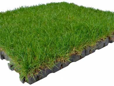 firmusgrass5.jpg
